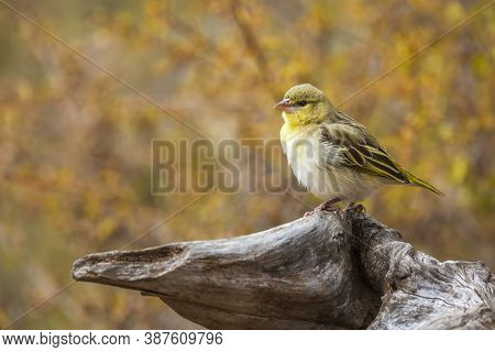 Village Weaver Standing On Log With Fall Colors Background In Kruger National Park, South Africa ; S