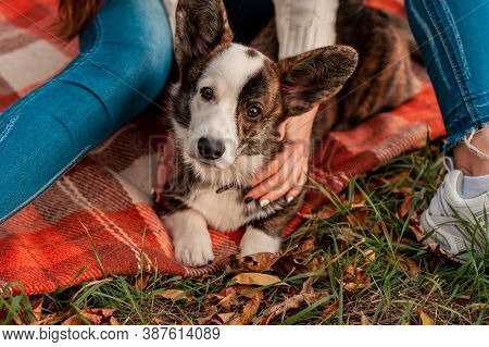 Closeup Side View Portrait Of Welsh Corgi Dog In Autumn Background. Dog On Autumn Yellow Leaves