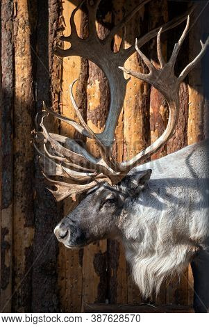 Reindeer With Magnificent Branchy Antlers On The Background Of A Wooden Wall. The Sun Illuminates Th
