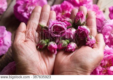 Small Buds Of Tea Roses In Female Hands, Flowers And Tree Background. Growing Flowers For Making Tea