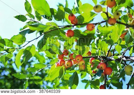 Paradise Apples Close-up. Paradise Apples Hang On A Tree Branch. Apple Tree Plum. Chinese Apple Frui