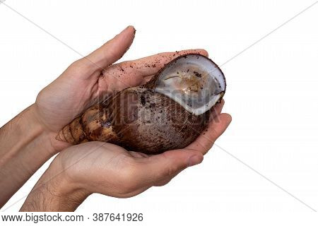 Close Up Of Hibernating Achatina Snail In Man Hand. The Snail Hibernated Due To Unfavorable Living C