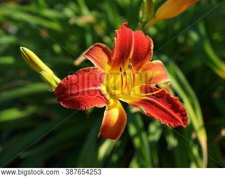 Close Up Of An Orange Daylily Flower
