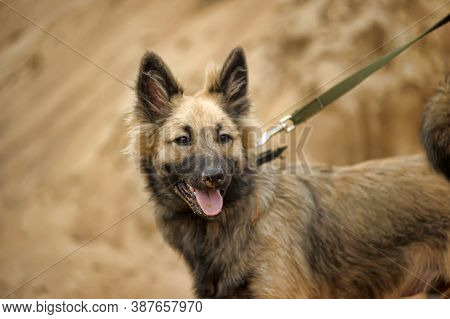 Brown Puppy Mongrel On A Leash In The Sand
