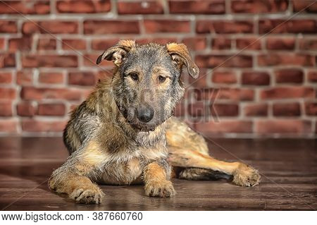 Brown Mongrel, Pooch Dog On A Brick Wall Background