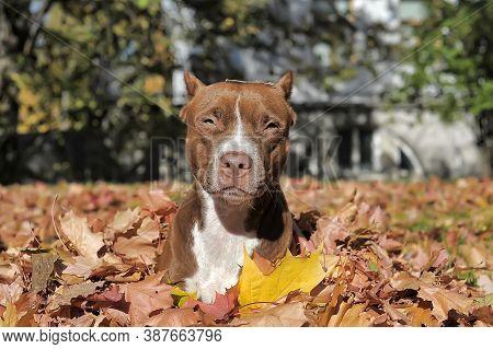 Brown Pitbull On Autumn Leaf Background.