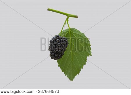 Ripe Blackberry On A Branch, On An Isolated Background.