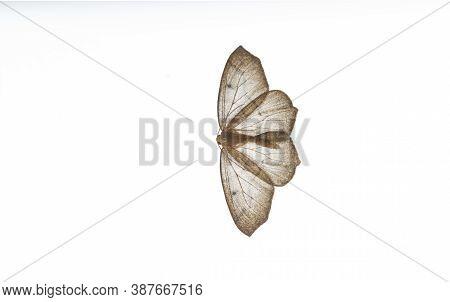 Western Hemlock Looper Moths At Vancouver Bc Canada,