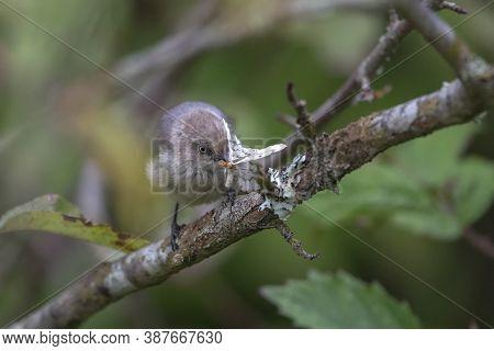 Bushtit Eating Phantom Hemlock Looper Moths At Richmond Bc Canada,