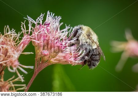 A Common Eastern Bumble (bombus Impatiens) Is Covered In Pollen While Working On A Milkweed Bloom. R