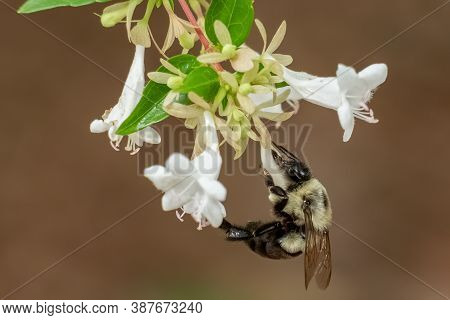 A Common Eastern Bumble (bombus Impatiens) Busy On Some White Blooms. Raleigh, North Carolina.