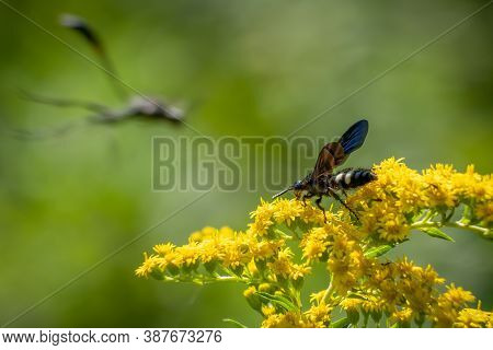 A Double-banded Scoliid Wasp (scolia Bicincta) Works On Pollinating Summertime Blooms As A Thread-wa