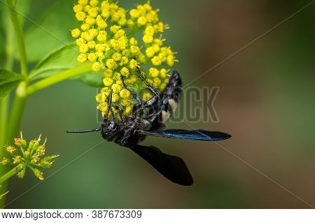 A Double-banded Scoliid Wasp (scolia Bicincta) Works On Pollinating Yellow Summertime Blooms. Raleig