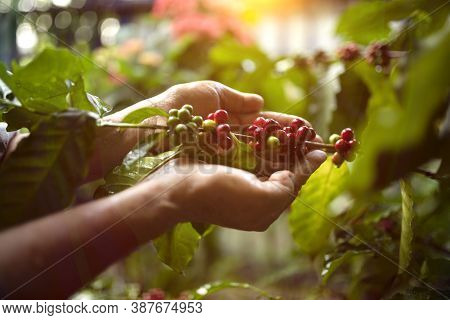 Vietnamese Arabica Berry Coffee With Robusta Farmer And Arabica Berry Coffee With Vietnamese Farmers