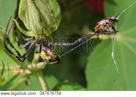 Beatyful Spider,spider Eating Insect And Siting On The Net,spider In Asis