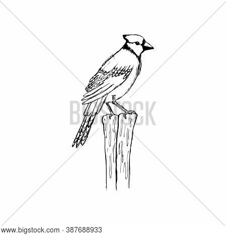 Cute Bird With A Tuft Isolated On A White Background, Sketching