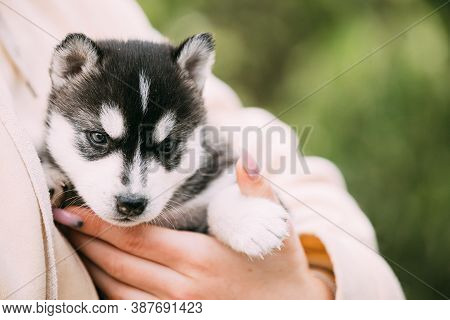 Four-week-old Husky Puppy Of White-gray-black Color Sitting In Hands Of Owner.
