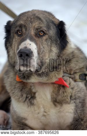 Gray With White Central Asian Shepherd Dog, Eight Years Old, On Snow In Winter