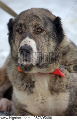 Gray With White Central Asian Shepherd Dog, Eight Years Old,