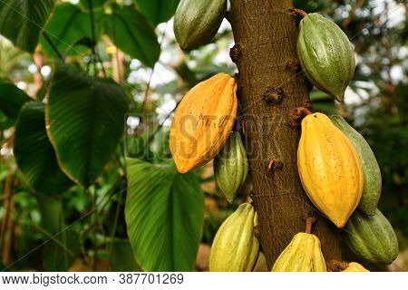 Cocoa Plant Tree With Bonatic Name 'theobroma Cacao'  With Huge Yellow And Green Cocoa Beans Used Fo