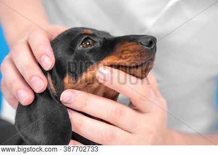 Doctor Or Owner Checks Muzzle, Eyes And Skin Of Baby Dog For Injuries, Diseases, Or Parasites, Close