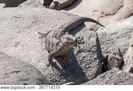 Close-up Of Gran Canaria Giant Lizard, Gallotia Stehlini. It Is Endemic To Gran Canaria, In The Cana
