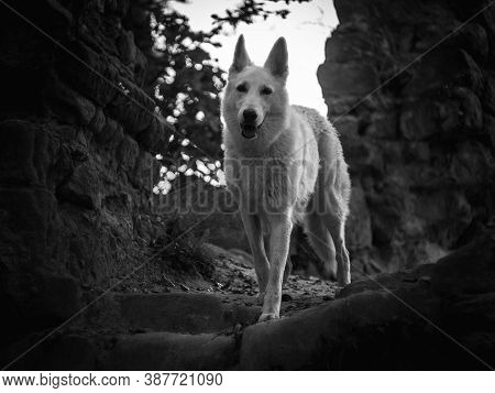 Portrait Of Wild White Wolf Inside Ruins Of Old Fort.