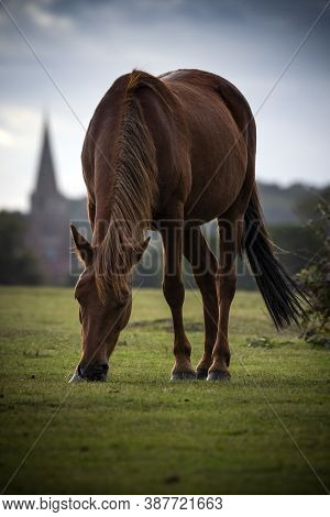 New Forest Pony Grazing In Hampshire Pastureland