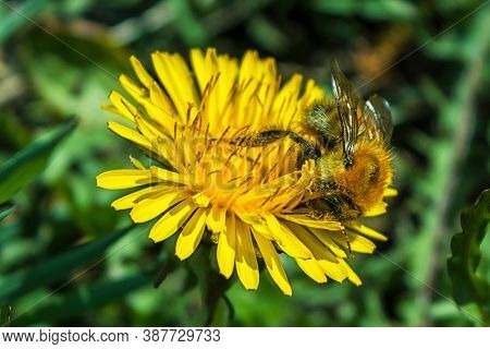 Honey Bee Collects Pollen And Nectar From Yellow Blooming Dandelion Flower. Saving Bees And Honey Fl