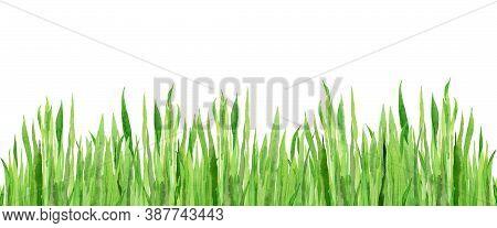 Watercolour Field Grasses. Wheat Grass. Design For Website, Tradition Medicine, Apiculture. Green Pl