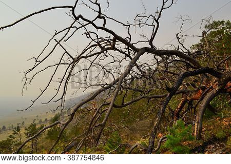 Dry Dead Bare Tree After Fire Among Green Forest In Yellow Grass On Slope Of Mountain. Baikal Lake I