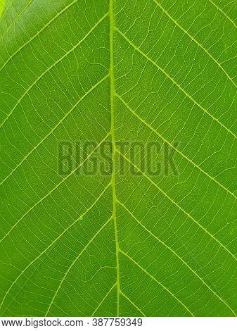 Macro Photography - Closeup Of Fresh Green Leaf, Close Up Shot Of Walnut Leaf, Close Up Of Light Gre