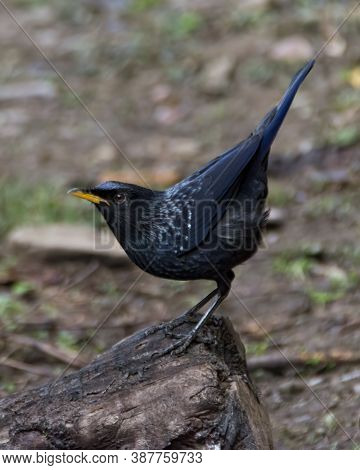 A Beautiful Blue Whistling Thrush (myophonus Caeruleus), Perched On A Rock On The Ground And With It