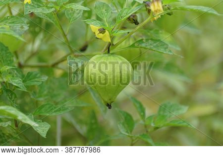 A Raw Tomatillo On The Tree, Also Known As The Mexican Husk Tomato