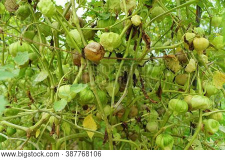 Raw Tomatillos On The Tree, Also Known As The Mexican Husk Tomato