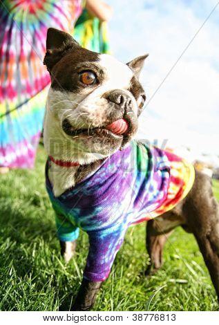 a cute boston terrier puppy in a tie dye shirt