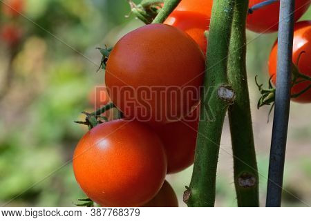 Close-up On A Ripe Red Tomato Hanging On A Stalk Scrubs