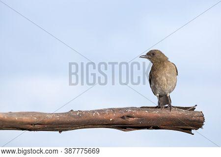 Black Beak Thrush - Turdus Ignobilis Turdidae. Colombia