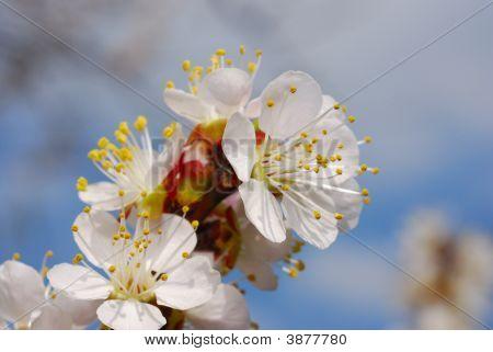 Apricot\'S Blossom