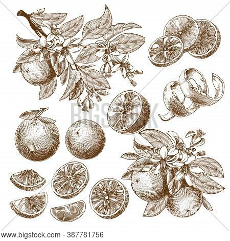 Vector Illustration Of Orange Fruit, Blooming Flowers, Leaves And Branches Vintage Monochrome Drawin