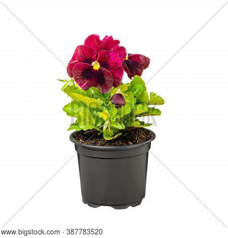 Pansy, Viola Wittrockiana Flowers In A Black Plastic Pot
