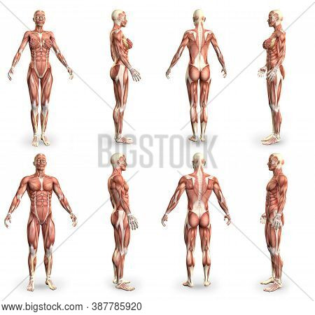 8 Hi-res Images In 1, Male And Female Bodies With Muscle Map - Physiology Concept For Science - Crea