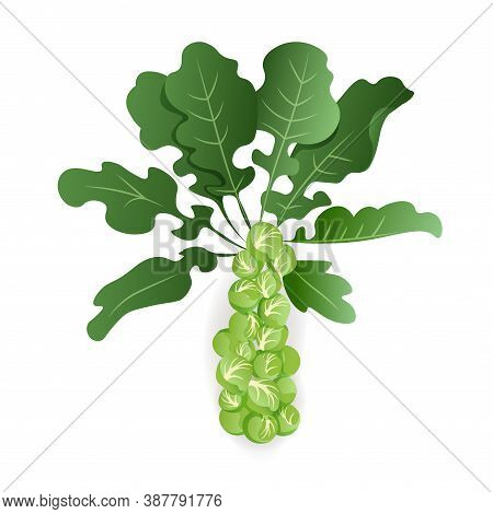 Brussels Sprouts With Leaves On White Background, Isolated. Organic Raw Cabbage. Cruciferous Vegetab