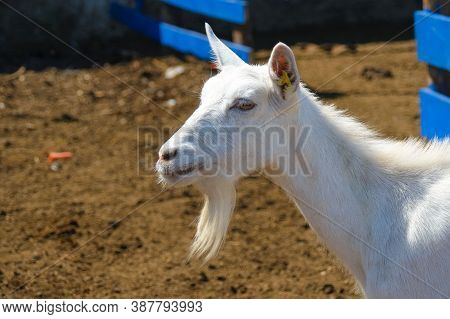 Thoroughbred White Goat On A Farm Close-up. Breeding Goats For The Production Of Goat Cheese. Goat F