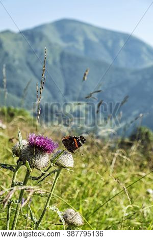 Purple Thistle With Butterfly, Green Meadow, Big Fatra Mountains, Slovak Republic. Seasonal Natural