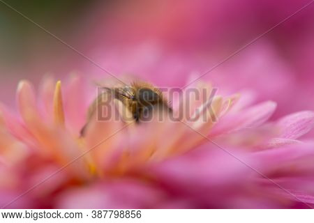 Background Of Pink Chrysanthemum Petals. Bee Close-up On A Chrysanthemum Flower In The Garden. Beaut