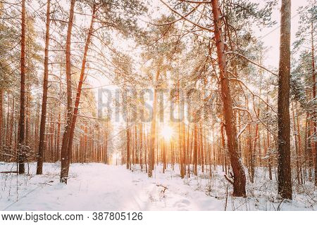 Amazing Sunset Sunrise And Sun Sunshine In Sunny Winter Snowy Coniferous Forest. Snowy Path, Road, W