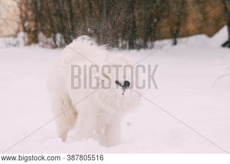 Funny Young White Samoyed Dog Or Bjelkier, Smiley, Sammy Dog Shakes Off Snow Outdoor In Winter Seaso