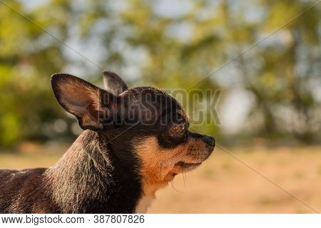 Pet Dog Walks On The Street. Chihuahua Dog For A Walk. Chihuahua Black, Brown And White. Cute Puppy