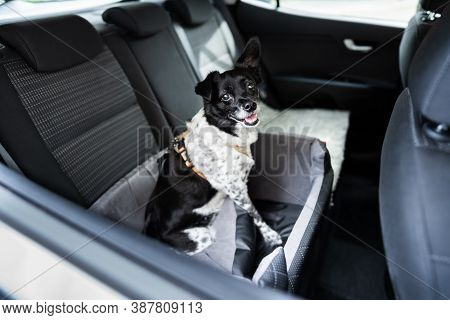 Dog In Car Seat With Safe Belt In Seat Booster